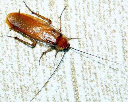 Способы уничтожения тараканов